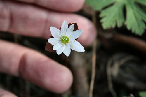 Rue Anemone  Thalictrum thalictroides